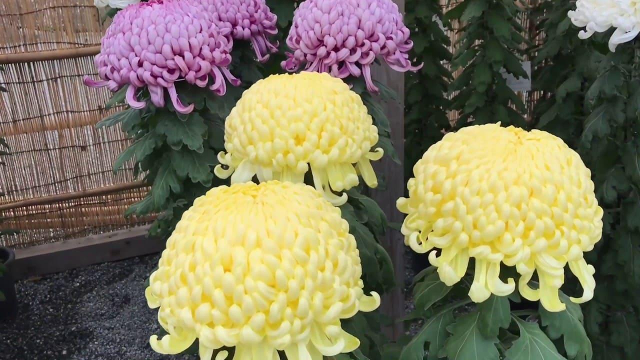 Crisantemo japonés, Kiku