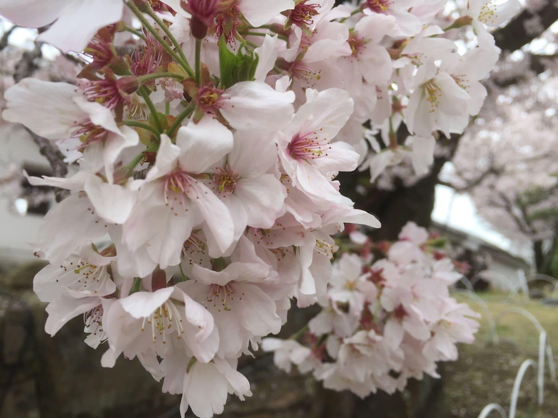 Cerezo japonés, sakura
