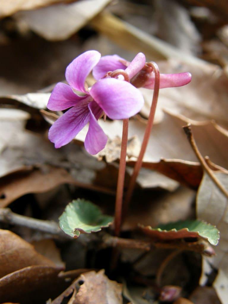 Violeta japonesa, sumire