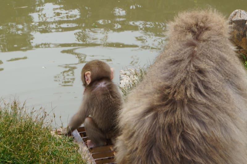 Parque de monos Iwatayama 1